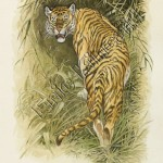 Jungle Book page 85 tiger looking back