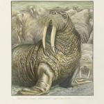 The Walrus surveys the herd