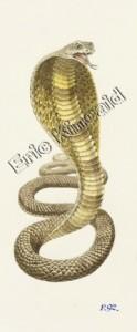 Nag the King Cobra